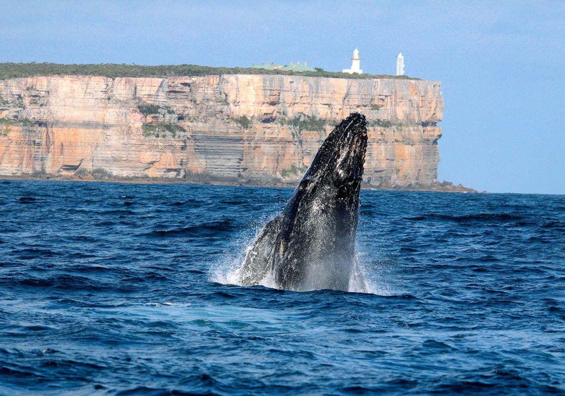 Whale breaching at Point Perpendicular, Jervis Bay