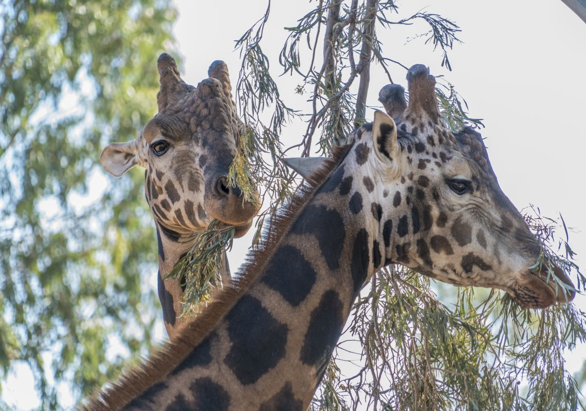 Giraffes eating leaves at Altina Wildlife Park, Darlington Point in the state's Riverina region