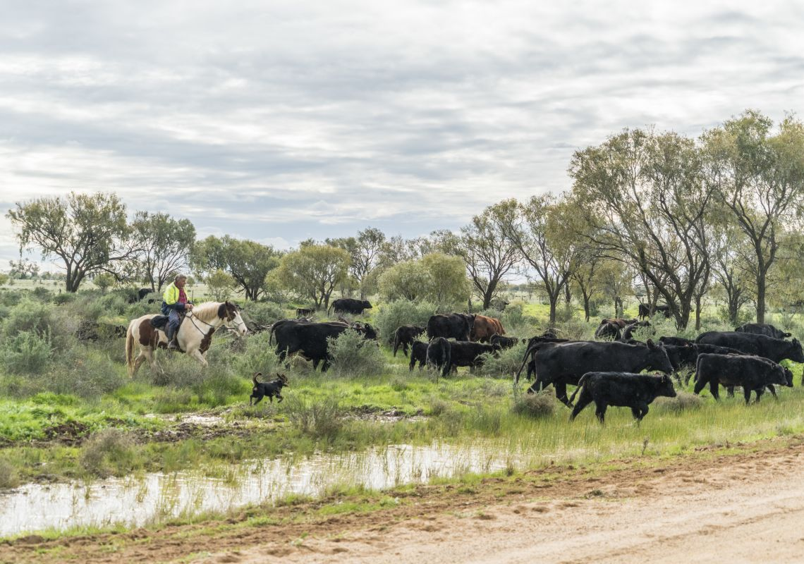 Horseman on a cattle drive in the Murrumbidgee Shire, Riverina