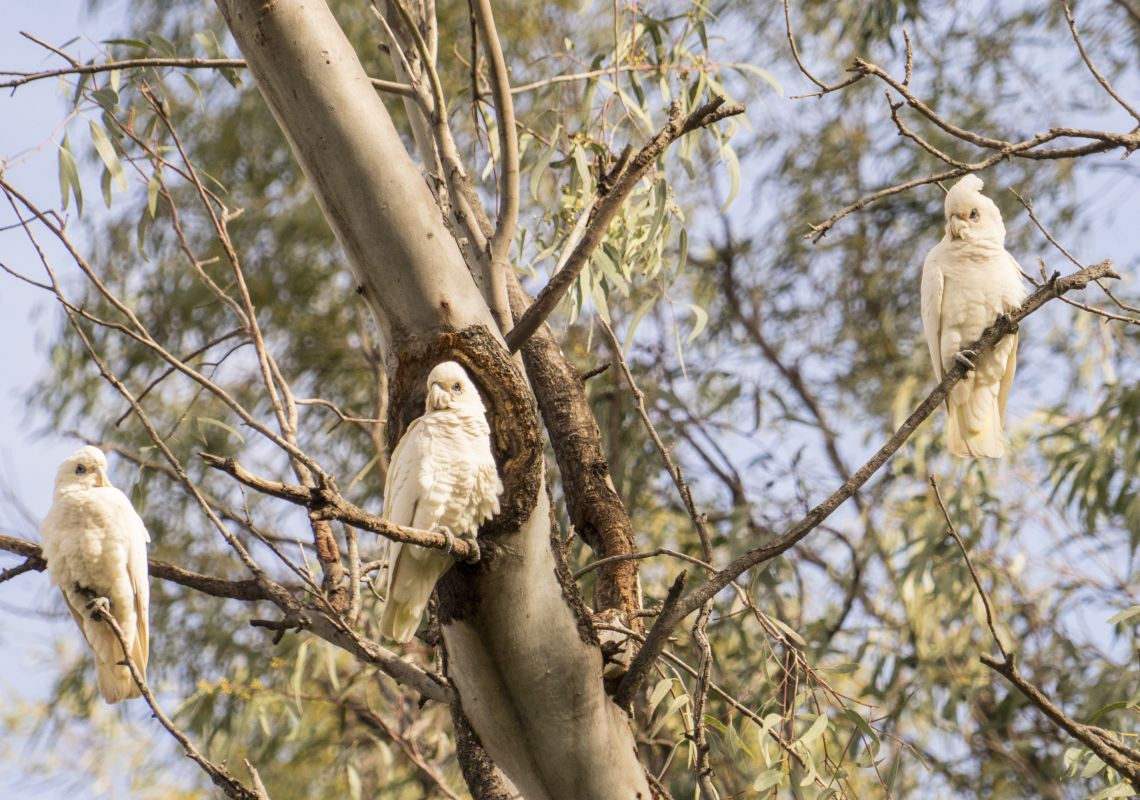 White cockatoos in Hughie Cameron Park in Hillston, Reverina