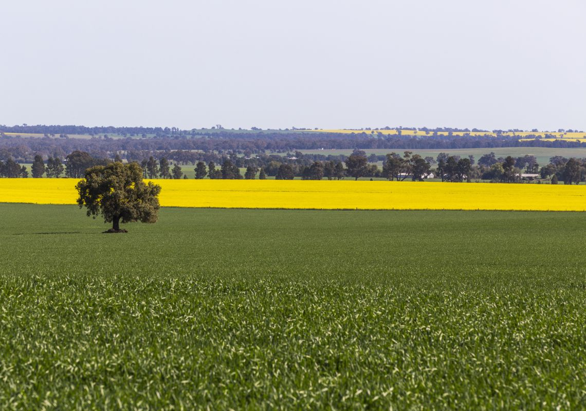 The vibrant golden canola fields in Coolamon