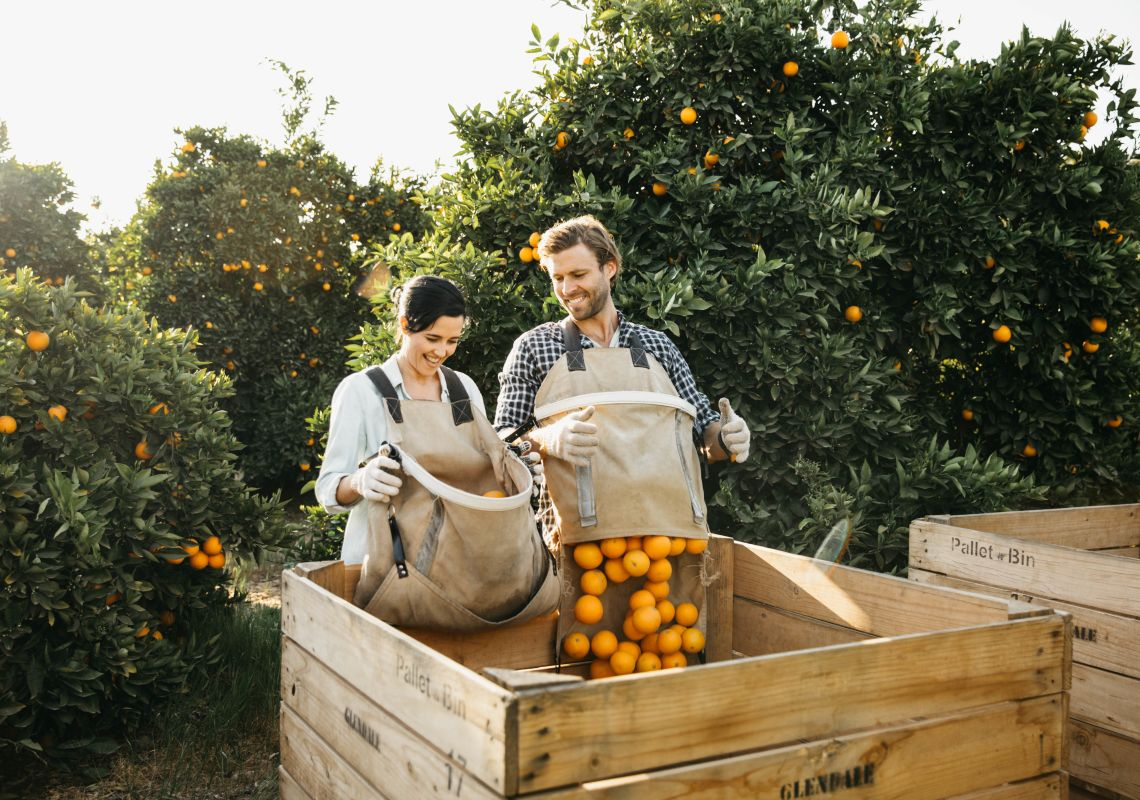 Couple enjoying a fruit picking experience at Glendale Citrus and Hazelnut Orchard, Sandigo in the Riverina
