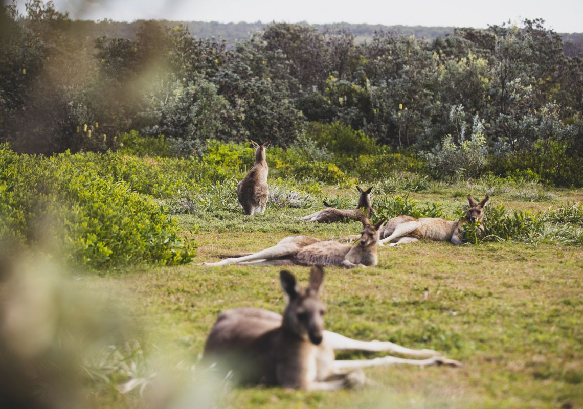 Kangaroos relaxing in Yuraygir National Park near Red Cliff, North Coast