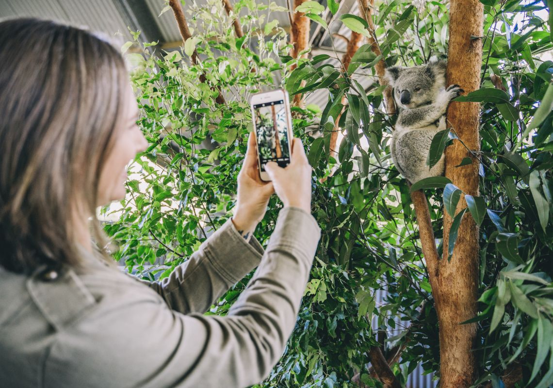 Woman enjoying a personal encounter experience with a koala at Billabong Zoo in Port Macquarie, North Coast