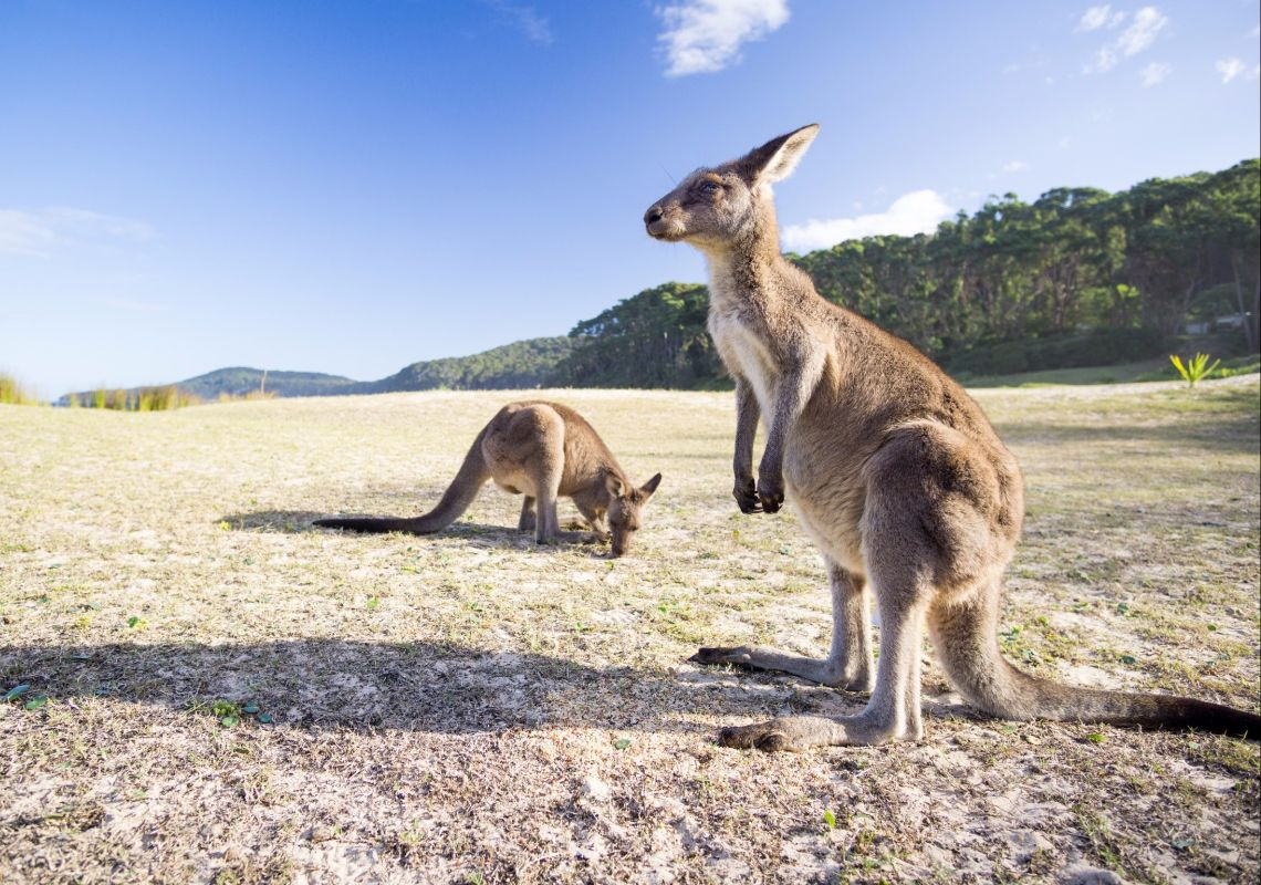 Kangaroos at Pebbly Beach in Bawley Point in Jervis Bay & Shoalhaven, South Coast