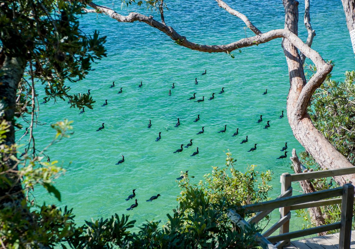 The Haven cormorants, water birds in Lake Conjola, Jervis Bay & Shoalhaven