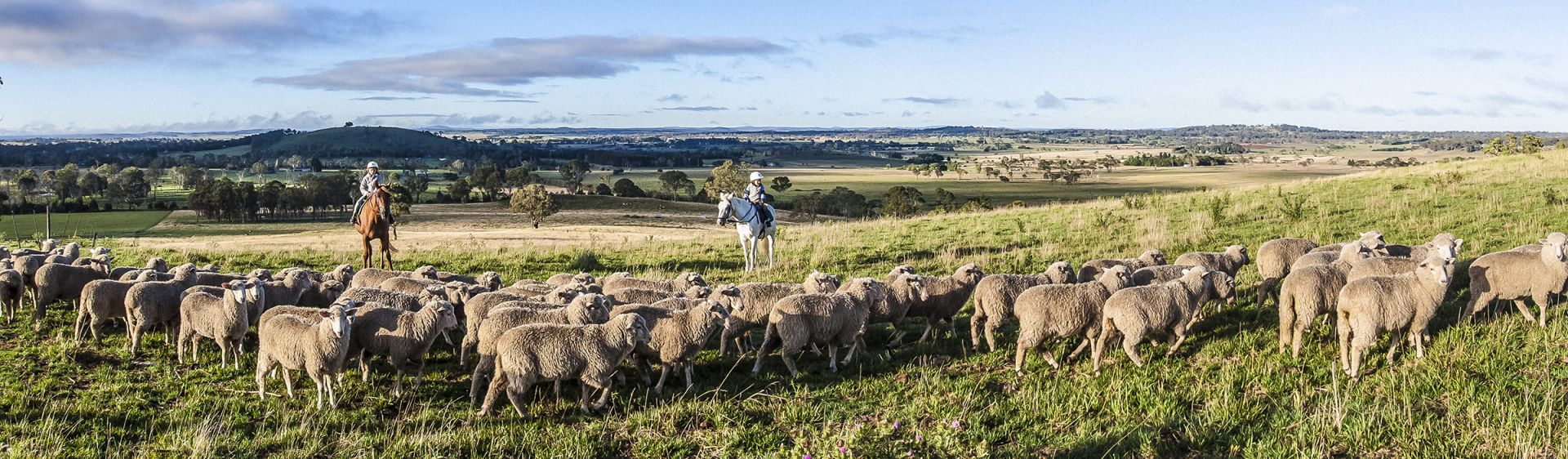 Herding sheep at Milly Hill Farm, New England region, NSW