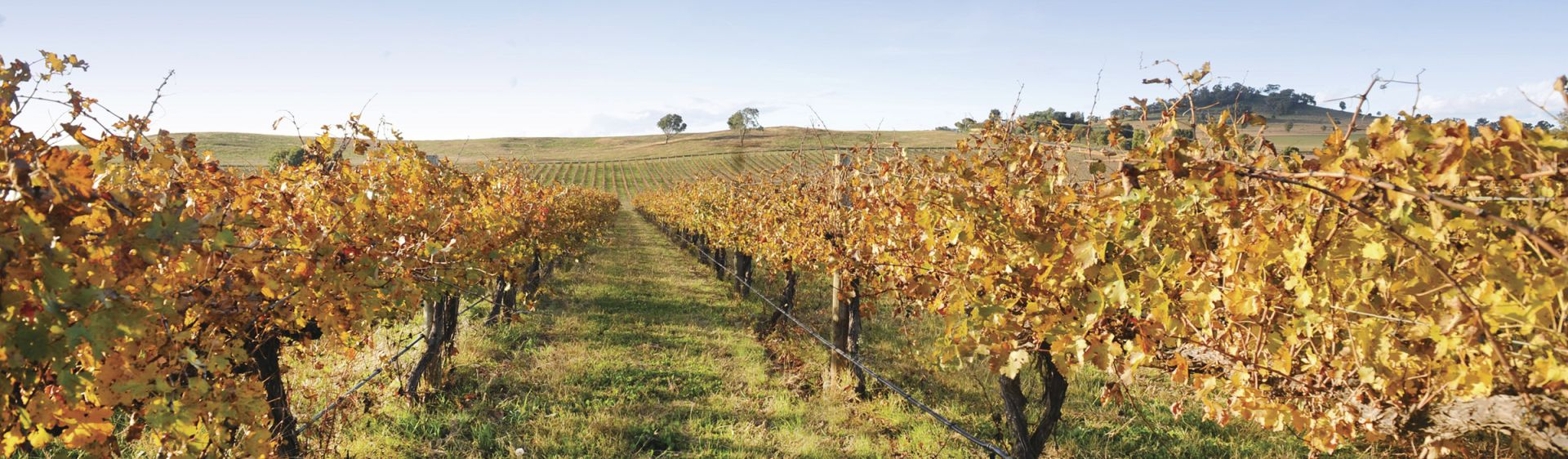 Country views of vines in Mudgee