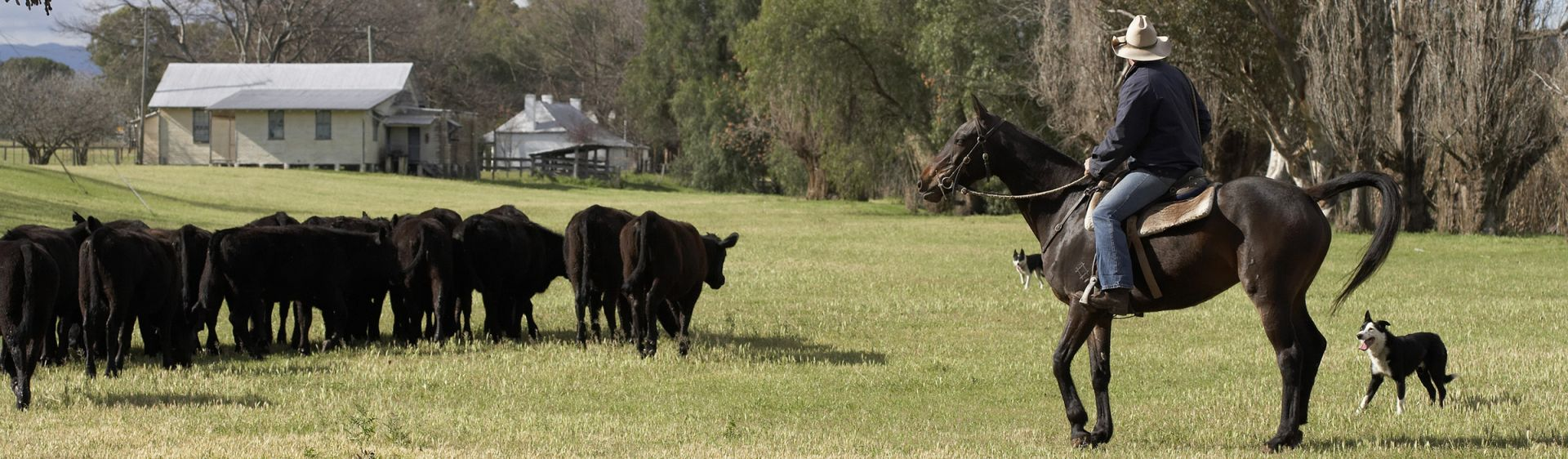 Cattle muster - Belltrees Estate - Scone - Upper Hunter