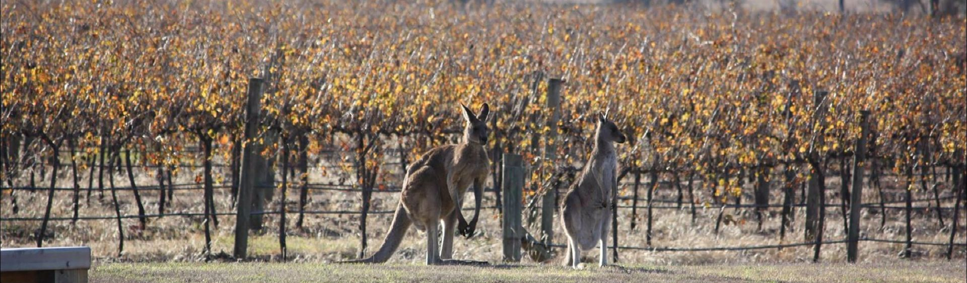 Kangaroos in the Two Rivers Wines vineyard, Denman