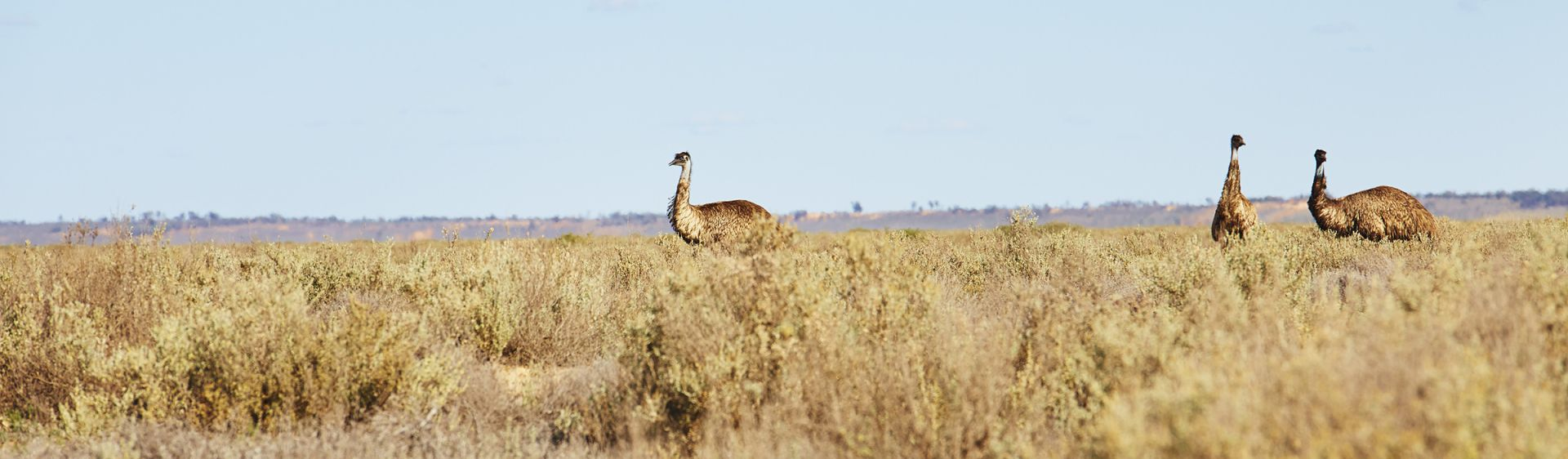 Nature in the Outback - Emus in Mungo National Park
