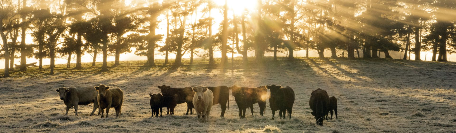Cattle, Southern Highlands