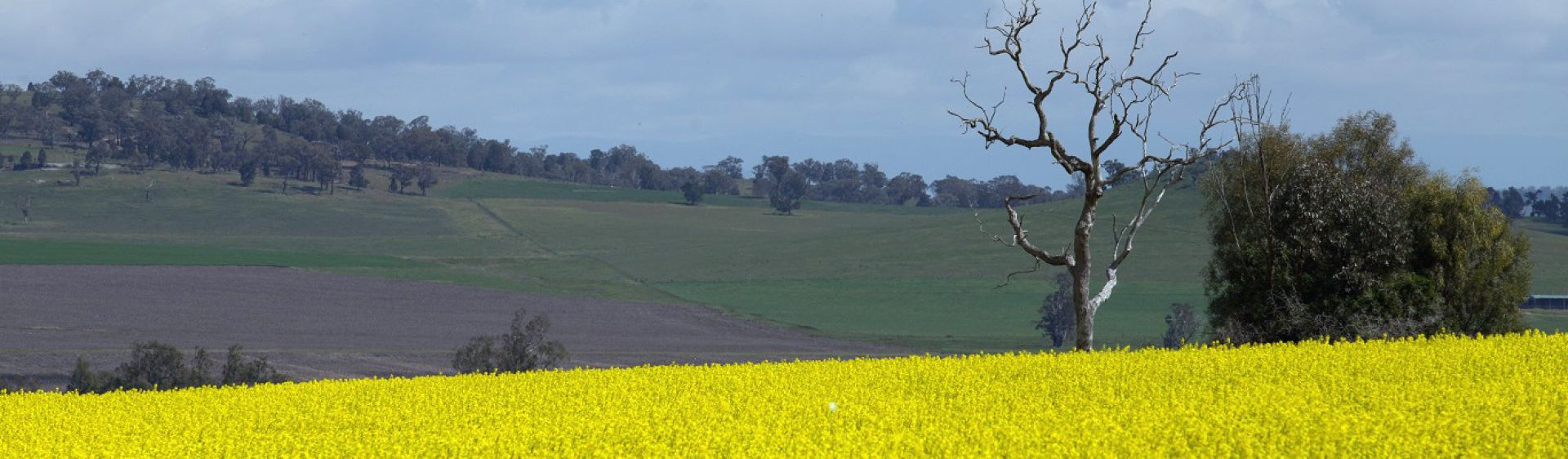 Scenic views of a canola field near Tamworth.