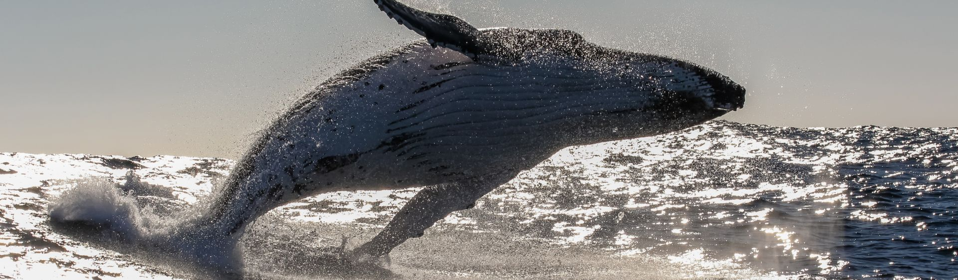 Humpback whale breaching off Coffs Harbour