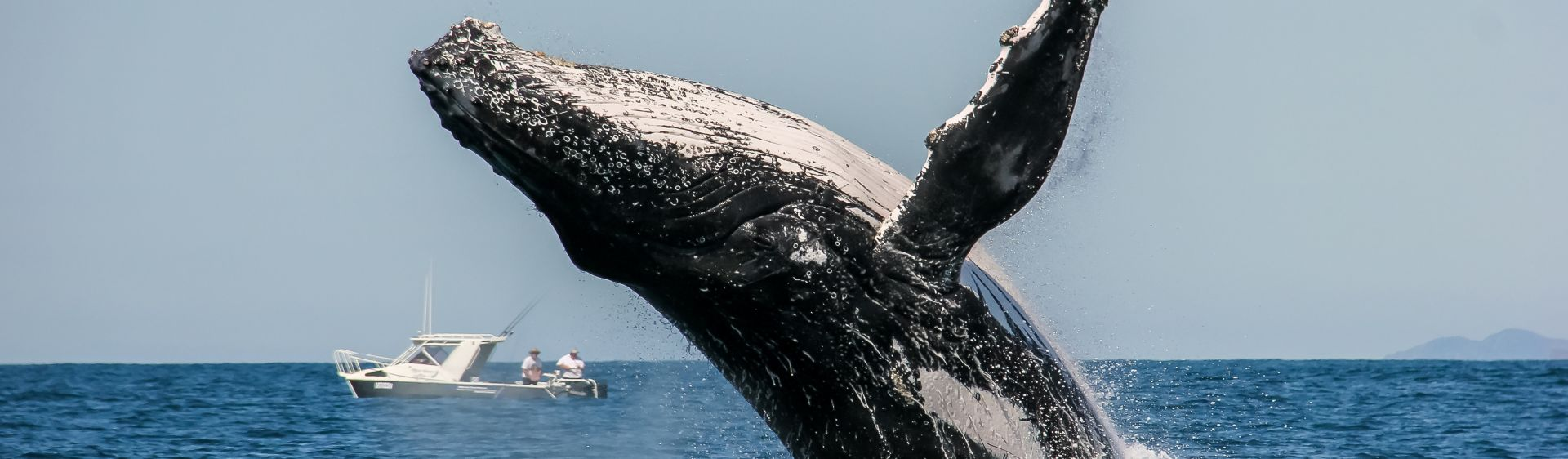 Humpback whale breaching in front of a fishing boat in Port Stephens, Australia