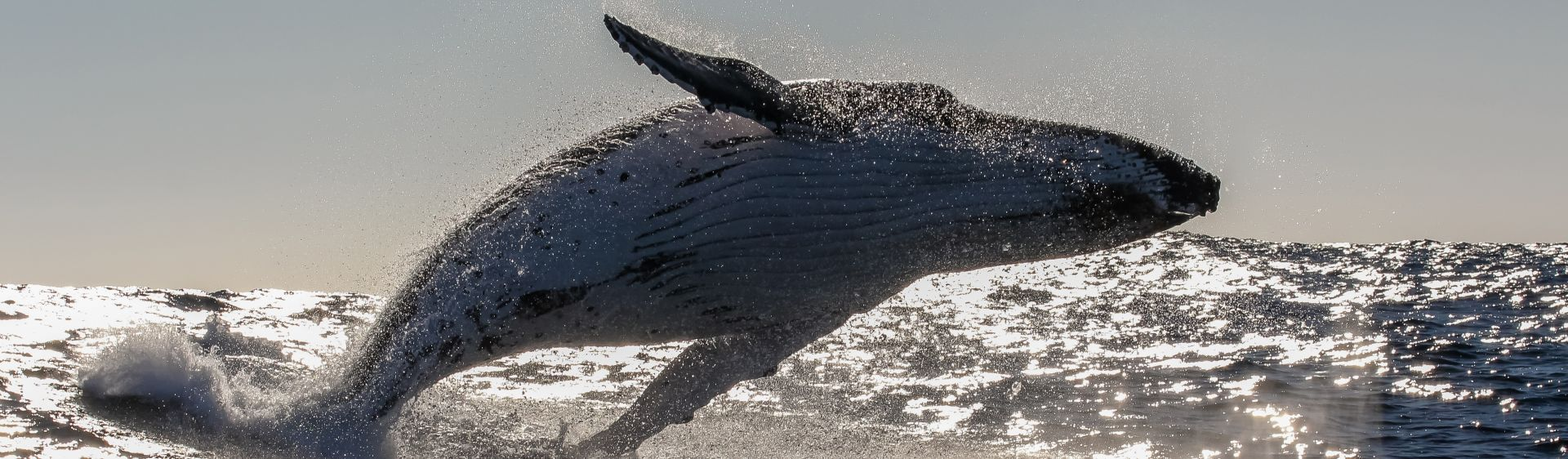 Whale breaching on the beautiful Sapphire Coast