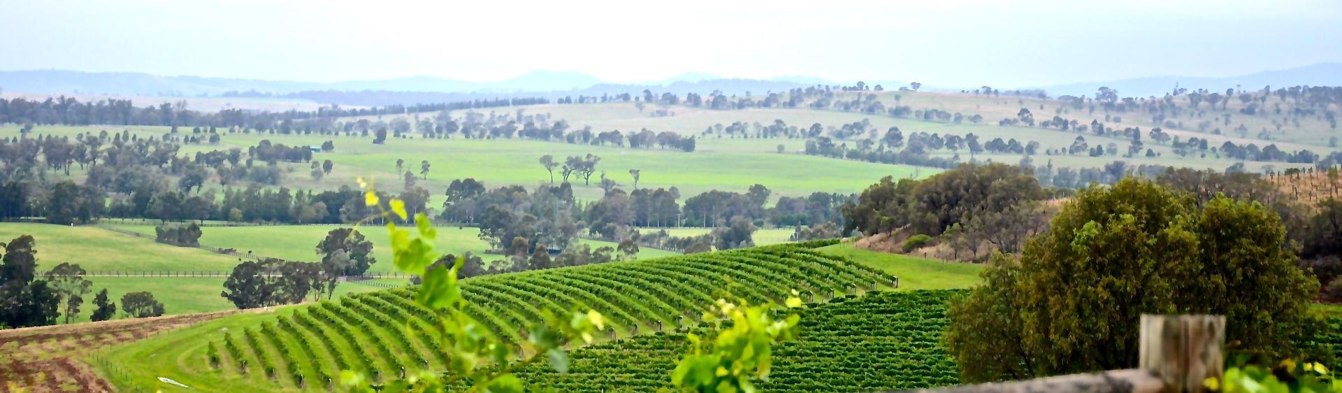 Vineyards at the Hollydene Estate Wines and Vines Restaurant in Singleton