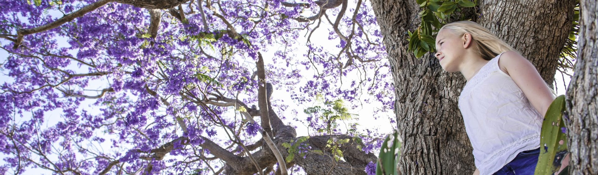 Girl admiring a Jacaranda tree's purple spring bloom, Grafton