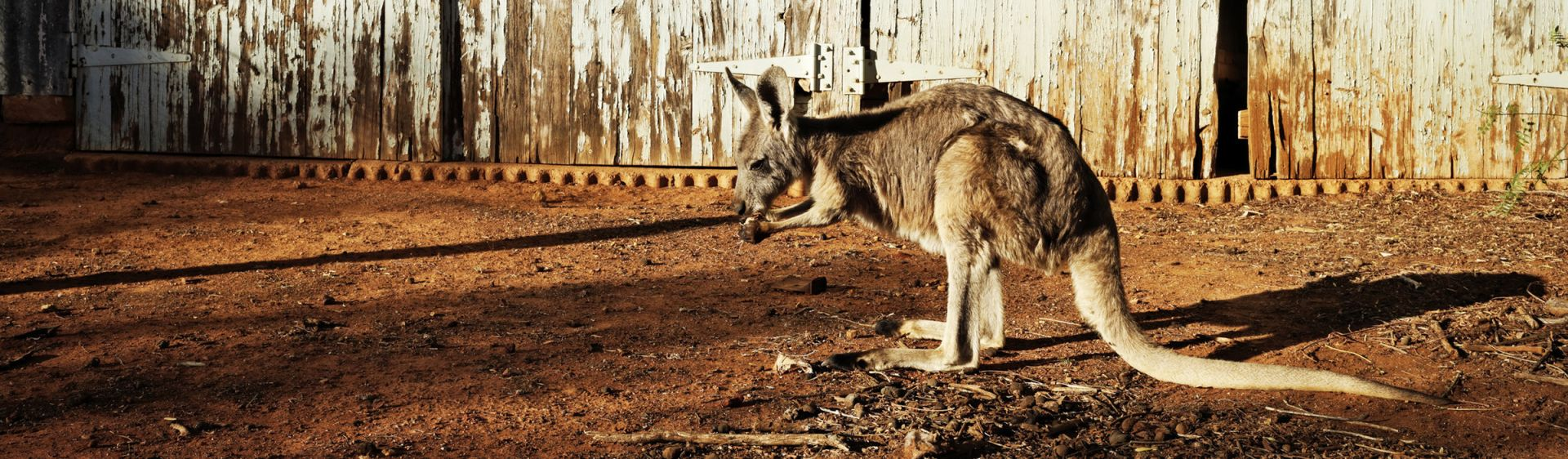 A wallaby at Trilby Station in Louth, near Tilba