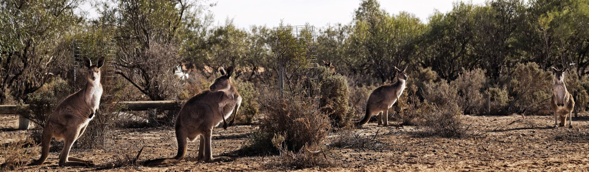 A mob of kangaroos stand among bushland in Mungo National Park, Outback NSW