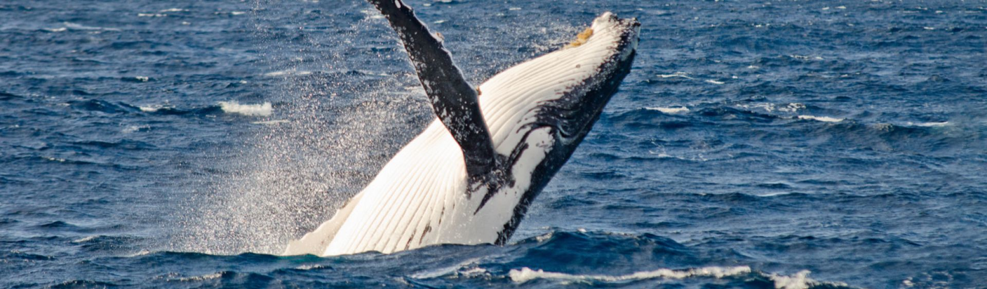 7534b416676 Whale Watching NSW - Whale Watching Season, Activities & Migration