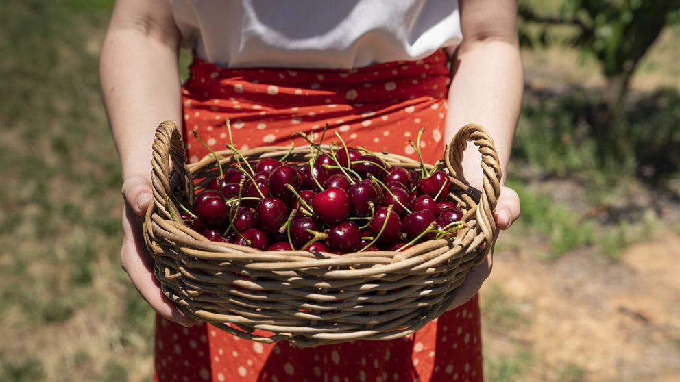 Woman holding freshly picked cherries at Valley Fresh Cherries & Stonefruits, Young