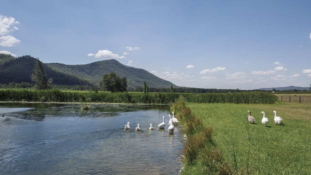 Geese wandering about the scenic grounds of Krinklewood Biodynamic Winery at Broke in the Hunter Valley