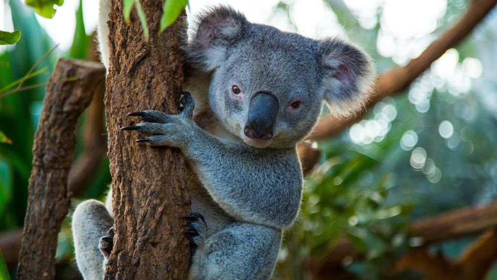Native koala at WILD LIFE Sydney Zoo in Sydney