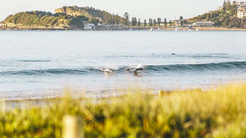 Dolphins catching a wave at Terrigal Beach in Terrigal, Central Coast NSW