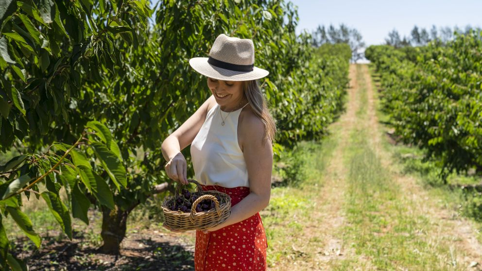 Woman enjoying a day of cherry picking at Valley Fresh Cherries & Stonefruits, Young