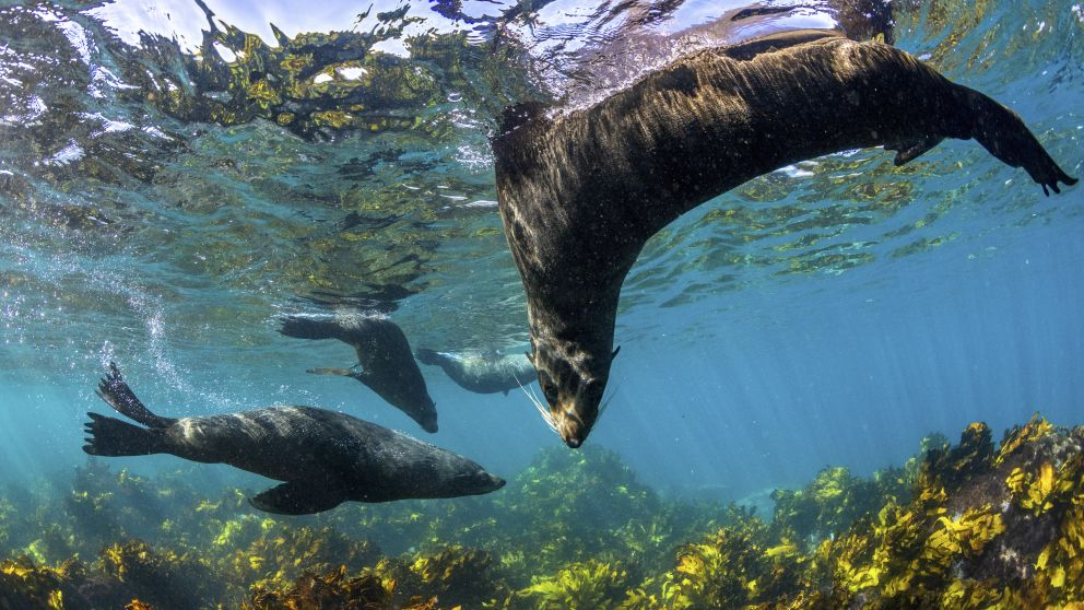 Seals playfully swimming in Jervis Bay, South Coast