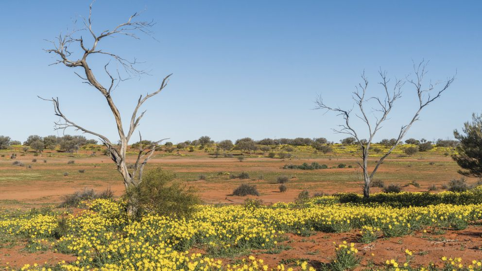 Wild flowers in the desert landscape at Sturt National Park in Tibooburra, Outback NSW