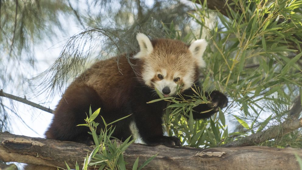 Red panda eating at Altina Wildlife Park, Darlington Point in the state's Riverina region