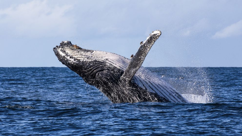 Humpback whale spotted breaching the waters in Jervis Bay during a swimming with whales tour with Dive Jervis Bay