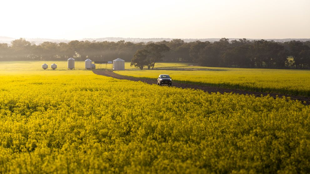 A car travels past the vibrant golden canola fields in Temora Shire