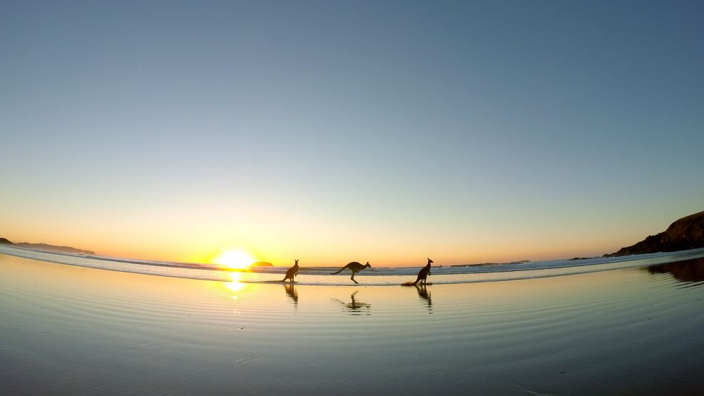Kangaroos at Emerald Beach, Coffs Coast. Image Credit: Solitary Islands Surf School