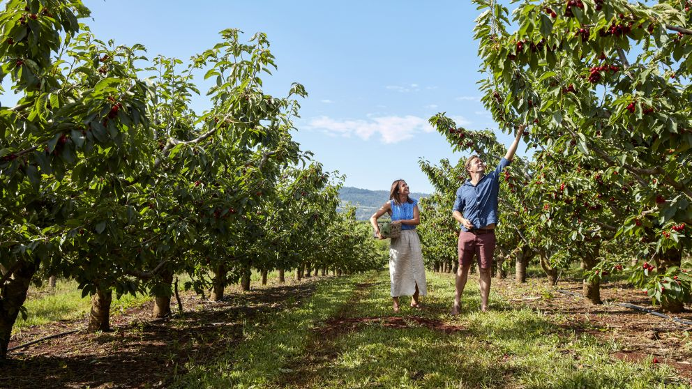 Couple picking cherries at Borrodell Vineyard, Canobolas in Orange, Country NSW