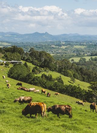 Cows grazing in Byron Bay's hinterland