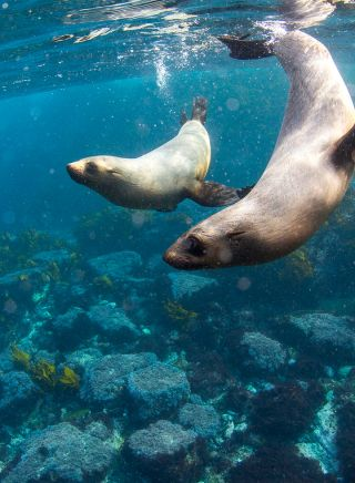 Swimming with seals at Montague Island