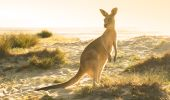 Kangaroo grazing in the morning sun at Potato Point in the Eurobodalla region of NSW