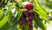 Cherries in the Allambie Orchard, Wombat - Young Area