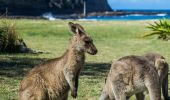 Kangaroos on Pebbly Beach - Murramarang National Park, South Coast