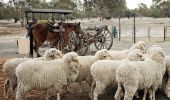 A stockman works with sheep during a show at the Back O' Bourke Exhibition Centre - Bourke - Outback