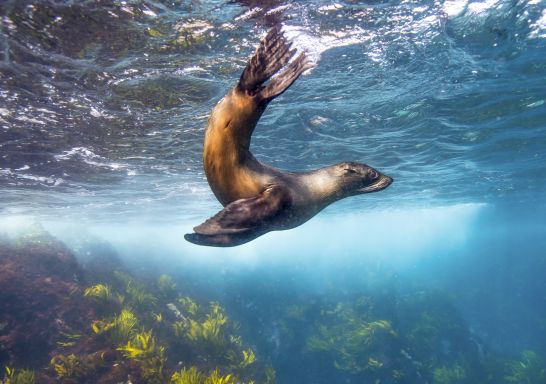 Seal swimming at Montague Island near Narooma