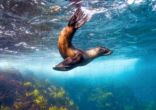 NSW jigsaw puzzle - seal swimming at Montague Island