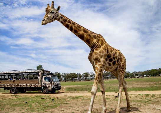Visitors on board the Savannah Safari Tour watching a giraffe at Taronga Western Plains Zoo, Dubbo