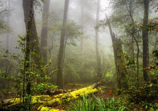Moss covered trees within Barrington Tops National Park, Gloucester Tops